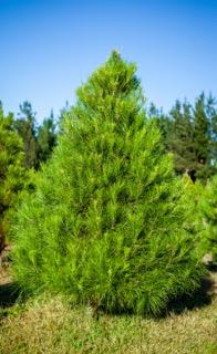 real_tree